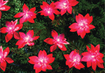 Indoor Christmas Poinsettia Lights 40 Lights